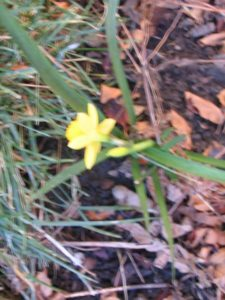Daffodil that bloomed in December one year